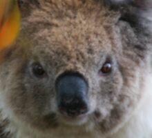 Soggy Koala Sticker
