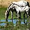 Appaloosas (spotted horses)