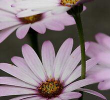 Daisies by Lynn Ede