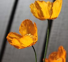 pretty wild yellow poppy flowers in grey wood background. by naturematters