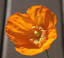 pretty wild yellow poppy flower in coffee grey wood background. by naturematters
