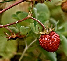 Wild Strawberry by Paul O'Connor
