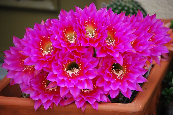 Echinopsis Attack by Ron Hannah