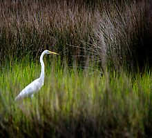 American Egret in Marsh by bcollie