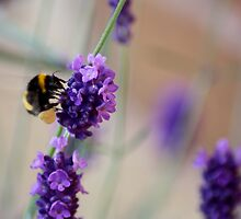 Bee Landing on Lavender by Lynn Ede