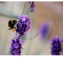 Bee Landing on Lavender Photographic Print