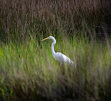 Egret in Marsh by bcollie