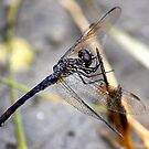 The Dragonfly by Stormy Brannan