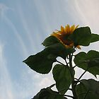 Sunflower at Sunset by ahowerton