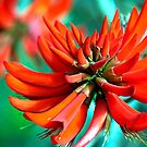 Coral Tree flower by waxyfrog