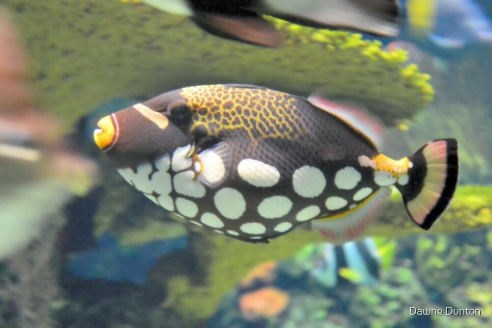 Clown Triggerfish by ©Dawne M. Dunton