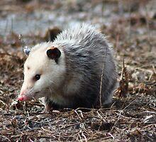 Possum by Toua Lee