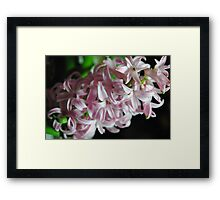 Pink hyacinth Flowers Framed Print