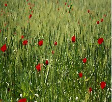 Red Poppies Growing In A Corn Field  by taiche