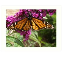 Monarch butterfly sipping nectar! 'Arilka' Adelaide Hills. Aust. Art Print