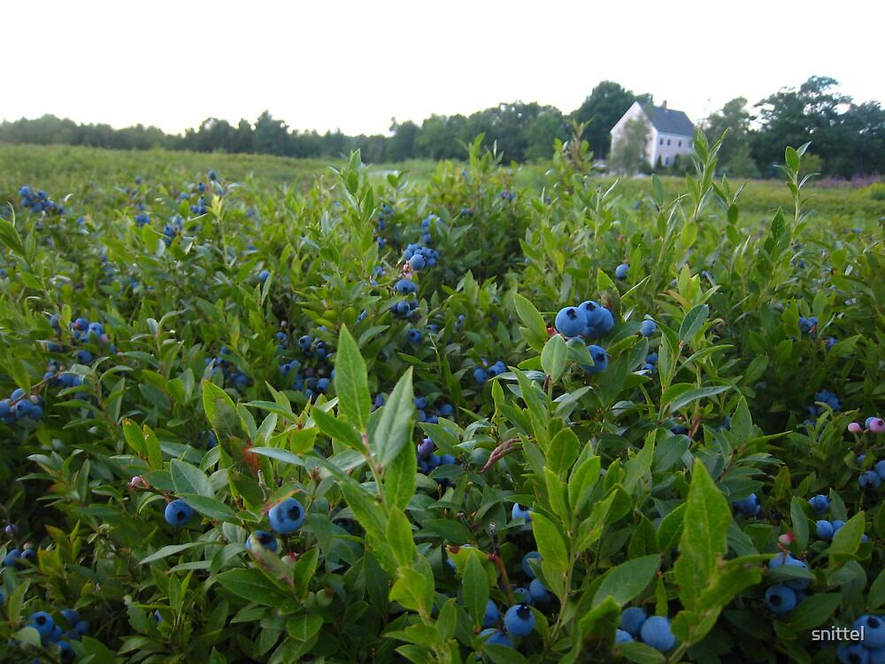 Maine Blueberry Fields by snittel