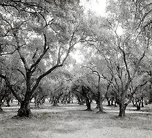 Olive Grove by Harvey Schiller