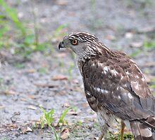 Broad-Winged Hawk by Jeff Ore