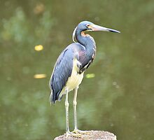 Tri-Colored Heron by Jeff Ore