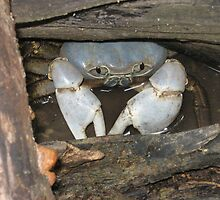 Blue Crab - Christmas Island by abbycat