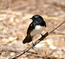 Willy Wagtail by Shadow1100