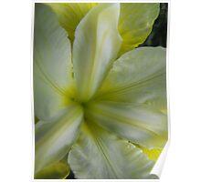 Cream and Yellow Iris Poster