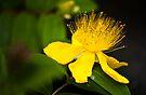 Another Fluffy Yellow Flower:-) by DonDavisUK