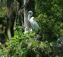 GREAT BLUE HERONS & GREAT EGRETS by H & B Wildlife  Nature Photography