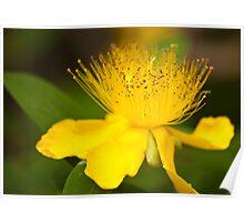 Fluffy Yellow Flower: Hypericum Poster