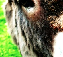 Donkey up close and personal by kridel