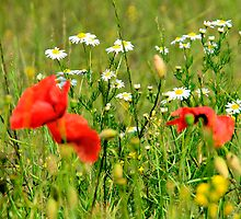 Bull-daisies and poppies by David Tait