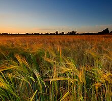 Of Summer Nights and Barley Fields... by Andrew Leighton