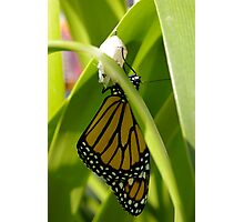 Hatching Monarch Photographic Print