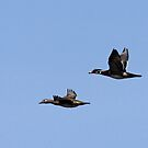 Wood Duck Flight #2 by lloydsjourney