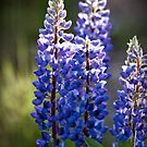 Blue Lupine II by Appel