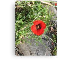 Springtime Poppy! Canvas Print