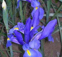 Iris 1 by Declan Kane