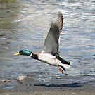 Mallard Takeoff by Gloria Abbey