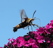 'Snowberry Clearwing Moth' by Scott Bricker