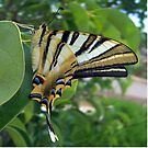 Swallowtail With Partially Closed Wings Side View by taiche