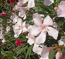 White And Red Oleander by jean-louis bouzou