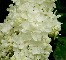 White Lilacs by godmommy5
