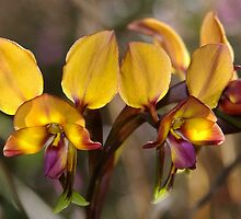Pansy Orchid by orpheus