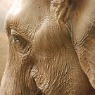 elephant up close and personal by steveault