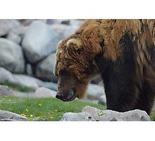 Upset Bear Photographic Print