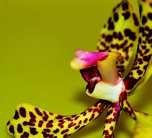 Fiesty Little Spider Orchid by chijude