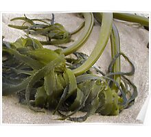 Oregon Coast Seaweed Poster
