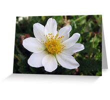 Mountain Avens Greeting Card