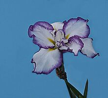 White Iris  by Dennis Rubin IPA