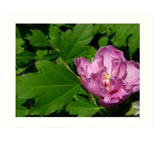 Tree peony, I think Art Print